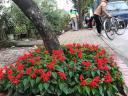 Trồng hoa tại bồn gốc cây trên tuyến phố Việt Hưng -